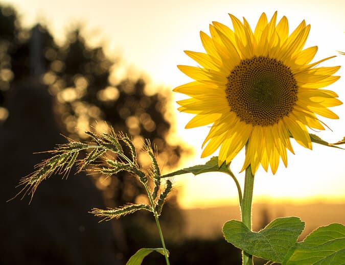 Photo of a sunflower in the sunshine